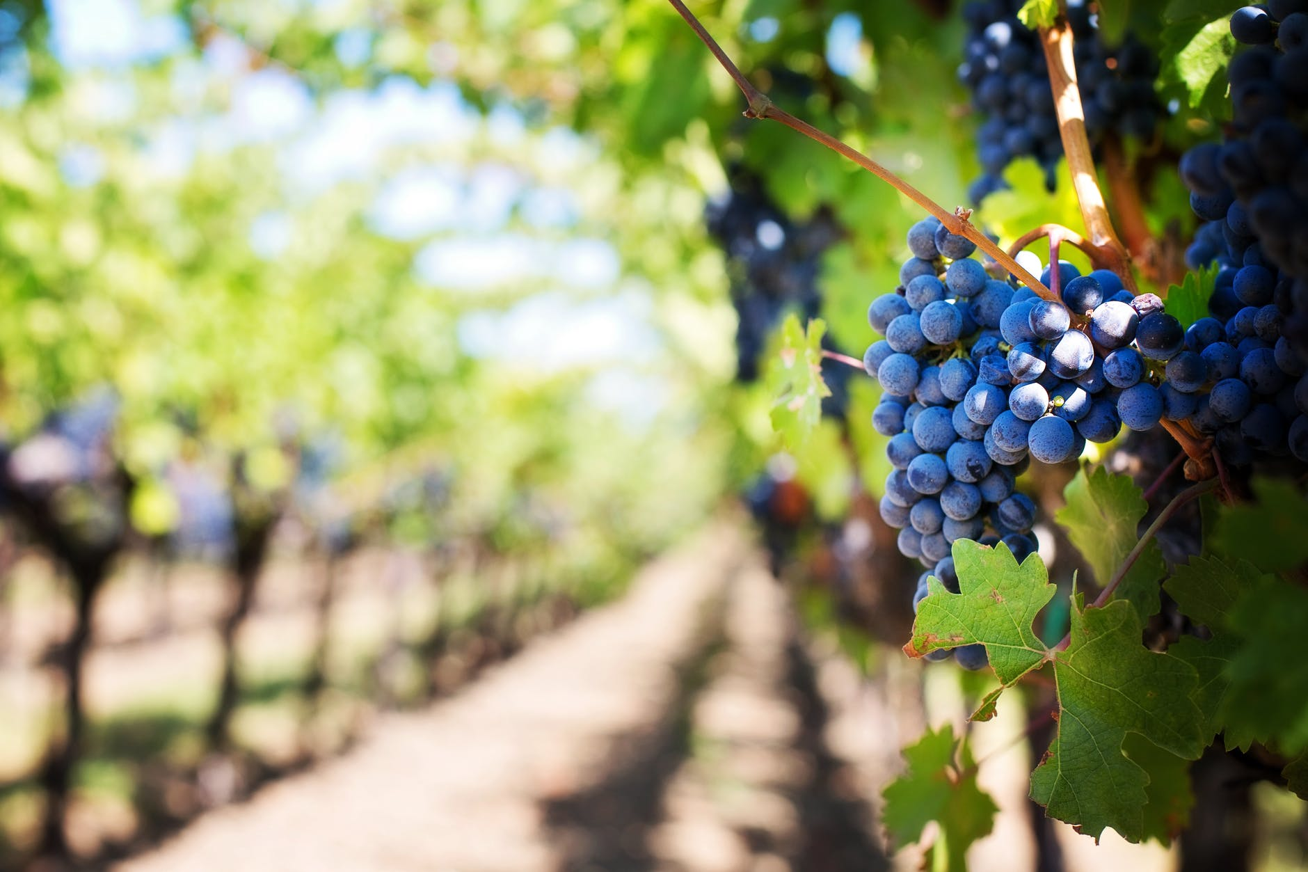 purple-grapes-vineyard-napa-valley-napa-vineyard-39511.jpeg
